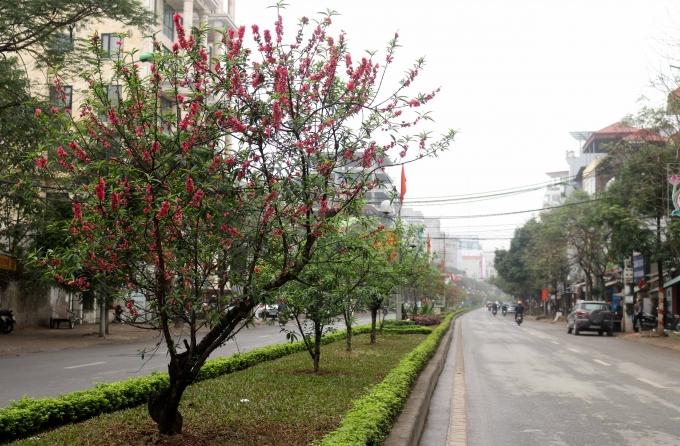 Dọc theo đường Lạc Long Quân tới làng trồngđào Nhật Tânvà Phú Thượng (quận Tây Hồ, Hà Nội), những cây đào vẫn đang khoe sắc.