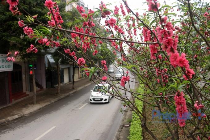 Những cành đào đỏ thắm làm cho phố phương tươi đẹp hơn.