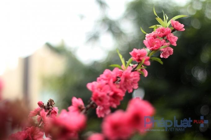 Hà Nội: Rực rỡ sắc đào nở muộn