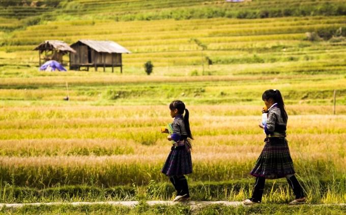 Con đường đi học của trẻ em nơi đây gắn liền với những cánh đồng lúa vàng óng.