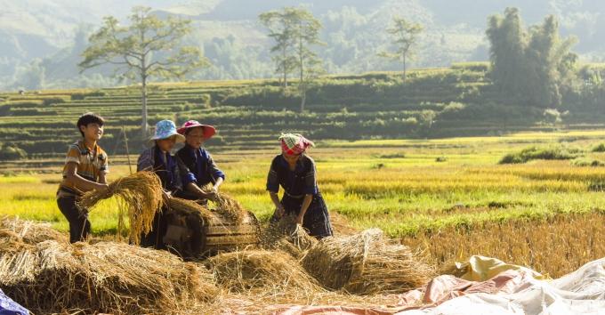 Cắt lúa xong người nông dân tuốt ngay trên ruộng để mang thóc về nhà.
