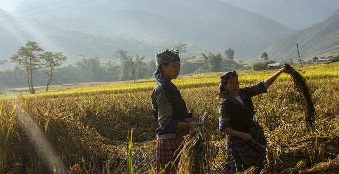 Nông dân bắt đầu xuống đồng gặp những bông lúa chí vàng mà họ đã rất mất nhiều công chăm sóc.