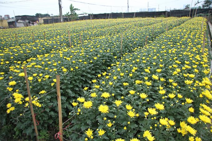 Những cánh đồng hoa Cúc trải dài.