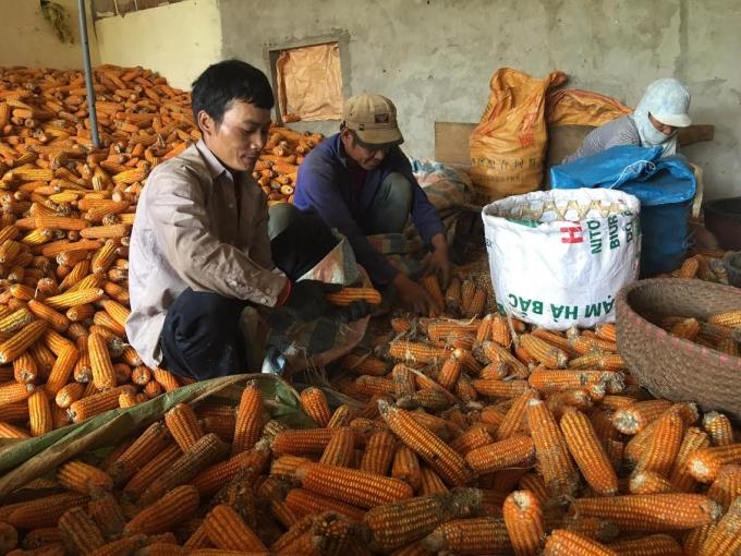 Ngô thường bị sâu đục bắp tấn công khiến người nông dân Sơn La thất thu.