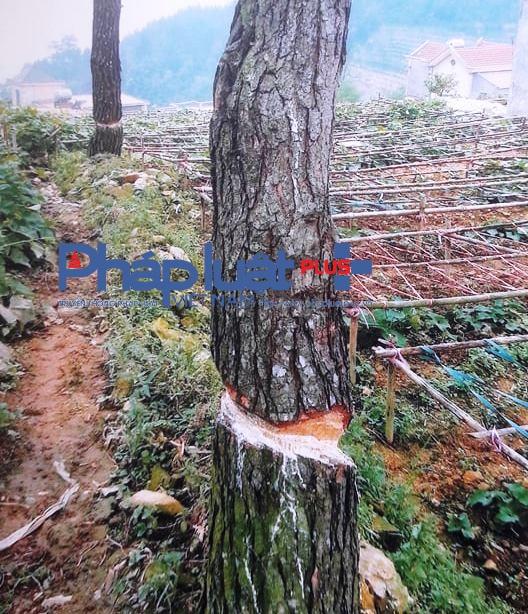 Gần 8ha rừng 327 đã bị chặt phá để trồng su su (Ảnh: Đào Tấn).