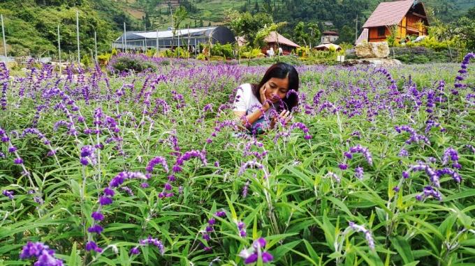 Chị Tú (chủ vườn hoa) cho biết: Loài hoa màu tím này có tên gọi là hoa oải hương hay còn gọi là Lavender, hoa oải hương có 29 loại tất cả.