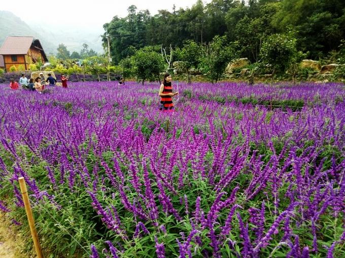 Những ngày này rất đông các bạn trẻ đến cánh đồng hoa oải hương ở Thải Giàng Phố (Bắc Hà) để tham quan, chụp ảnh.