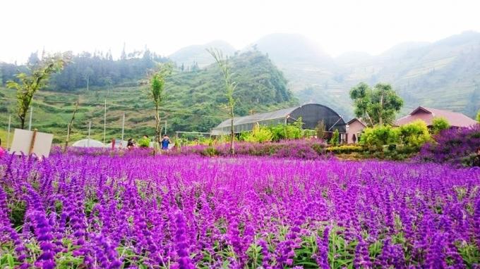 Một màu tím bao phủ cánh đồng...