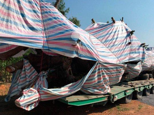Chiếc xe chở cây đa sộp cổ thụ bị lực lượng CSGT bắt giữ