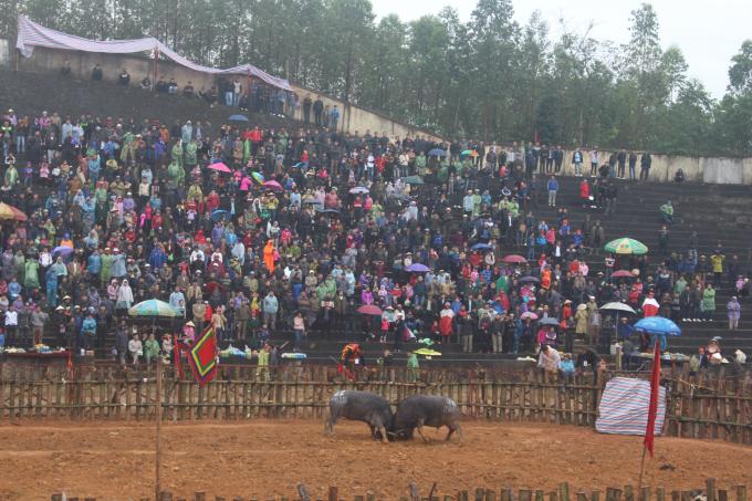 Miễn phí vé vào xem, không giết mổ trâu sau trận đấu là điểm mới của hội chọi trâu Phù Ninh 2018.