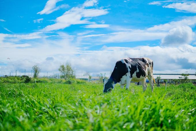 Trang trại Vinamilk Organic Đà Lạt – nơi 500 cô bò organic cho nguồn sữa 100% organic tươi ngon thuần khiết mỗi ngày.