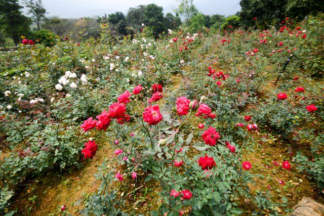 Khu nghỉ dưỡng có nhiều hoa hồng lớn nhất Việt Nam với 3-4 triệu bông hồng.