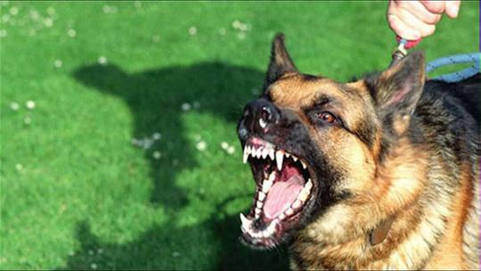Sau khi bị chó nghi dại cắn cần khẩn trương đi tiêm phòng (Ảnh minh họa)