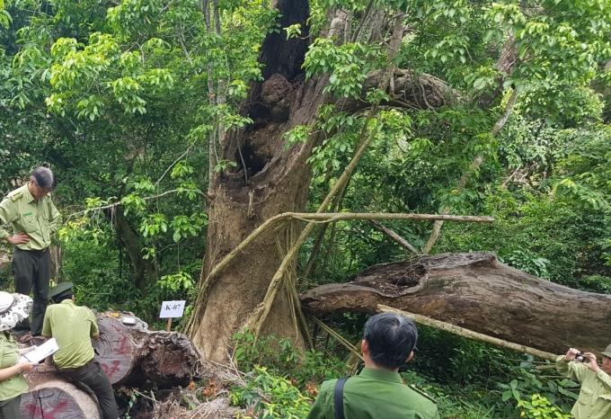 Nhiều cây bị gãy đổ do mưa bão, gốc bị mục mối.