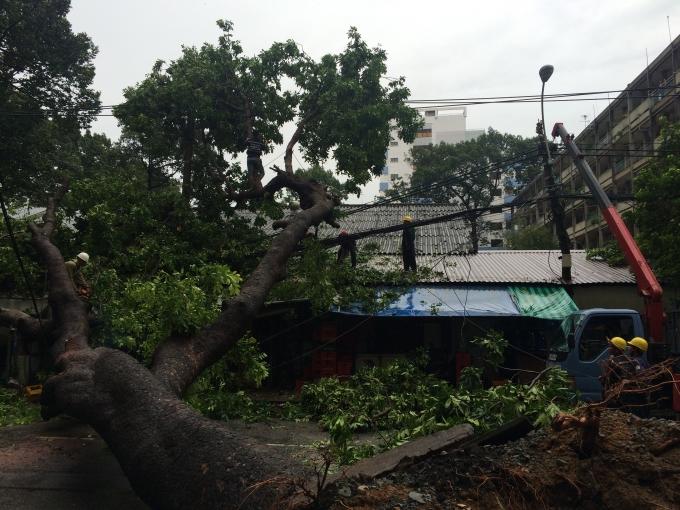 Cây xà cừ đổ đè nhà dân trên đường Tân Phước vào chiều 12/9.