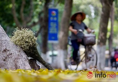 Trên phố Trần Hưng Đạo, Bà Triệu, Ngô Quyền, Hai Bà Trưng, Phan Đình Phùng, Đinh Tiên Hoàng…, xà cừ, sấu đua nhau thay lá, tạo nên vẻ đẹp rất riêng của Hà Nội.