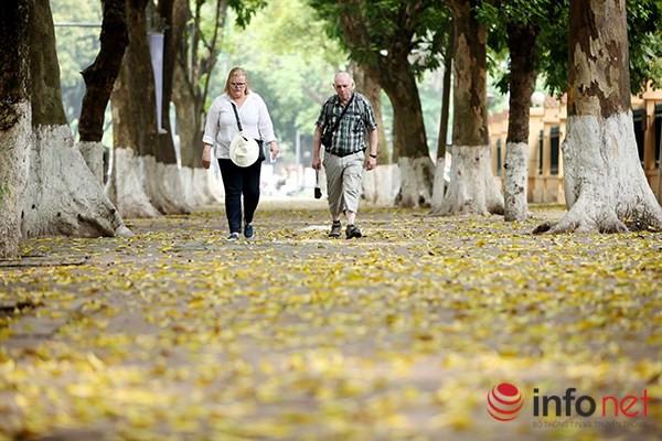 Hà Nội có một thời điểm khá đặc biệt vào lúc giao mùa giữa Xuân sang Hè, đây là lúc những hàng cây cổ thụ trên đường phố bắt đầu thay lá.