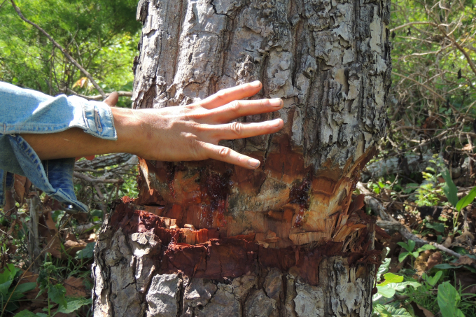 Nhiều cây bị gỗ bị ken cây chết dần.