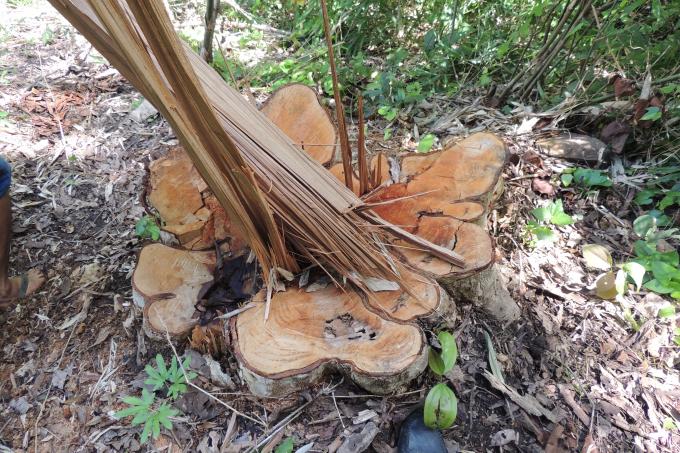 Những cây gỗ tại xã Chư Krêy bị lâm tặc cưa hạ không thương tiếc.