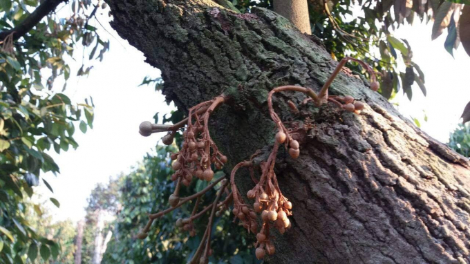 Sầu riêng trong vườn nhà ông Lợi bị đầu độc, quả non bị cháy và khô trên cây.