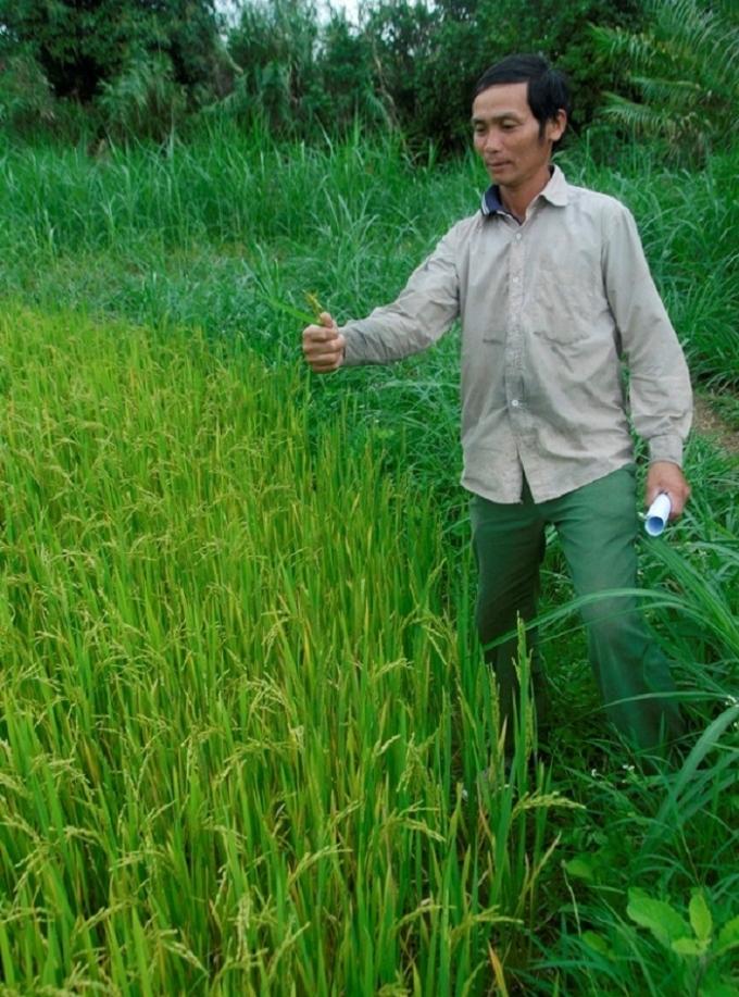 Nông dân Trần Văn Phê bên đám ruộng lúa trỗ nhưng lép hết.