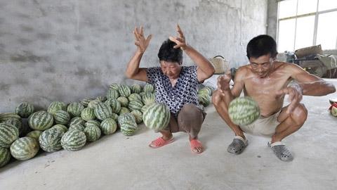 China News đưa tin, loại dưa lạ nói trên mới được trồng tại vườn nhà vợ chồng ông Cung, bà Vương ở tỉnh Hồ Bắc, Trung Quốc.Bà Vương cho biết, con gái bà làm việc ở Bắc Kinh đã mang hạt về và bà trồng loại dưa này cùng với các loại dưa hấu thông thường. Khi thu hoạch, sản lượng đạt 500kg. Quả nặng nhất là 4,7 kg trong khi quả nhỏ nhất là 2,05kg. (Ảnh: Chinanews).