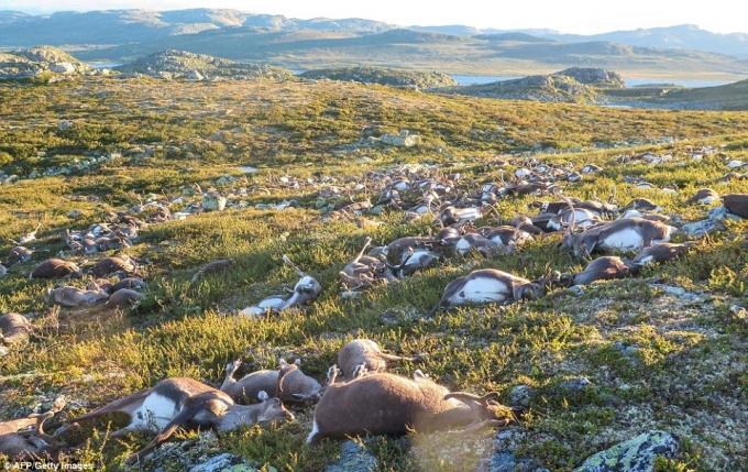 Theo những hình ảnh mà Cơ quan Môi trường Na Uy (NEA) công bố, hàng trăm con tuần lộc đã nằm chết la liệt tại công viên quốc gia Hardangervidda. Sau khi triểm tra, cơ quan này xác định có 323 con tuần lộc đã chết, trong đó có 70 con nhỏ. (Ảnh:AFP)