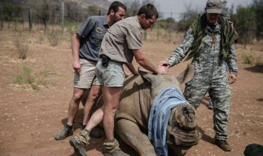 Tê giác bị giết để lấy sừng.