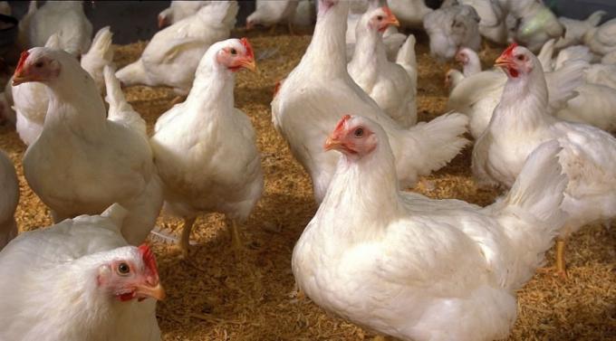 Mexico và Canada là 2 thị trường tiêu thụ thịt gà lớn nhất của Mỹ. (Ảnh: USDA)