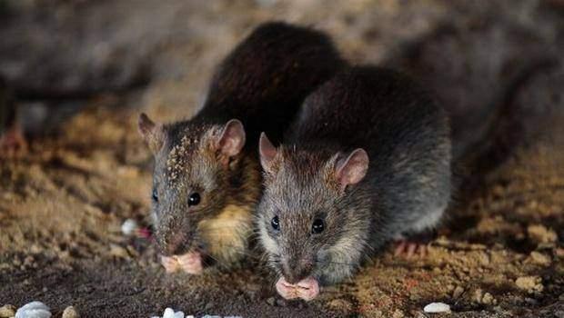 Số lượng chuột quá nhiều ảnh hưởng tới cuộc sống của người dân Paris. (Ảnh: AFP)