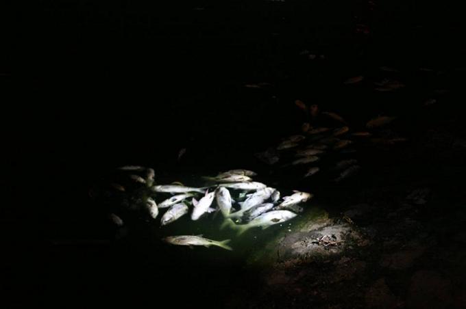 Số lượng cá chết dày đặc dạt vào bờ.
