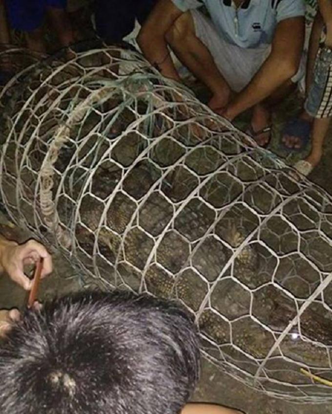 Con cá sấu đang được nuôi nhốt tại tại đình người dân.