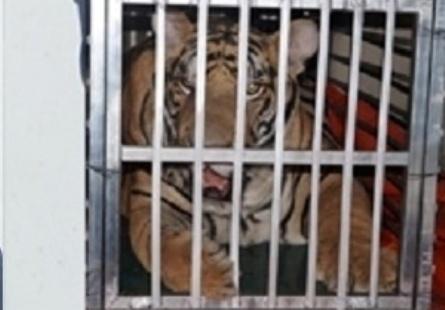 Cá thể hổ mới được giải cứu