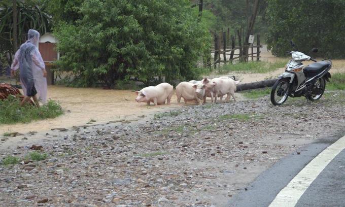 Người dân di dời đàn vật nuôi đến nơi an toàn.