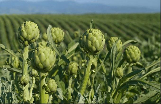 Đặc sản atiso, một loại thực phẩm, thảo dược được dùng tất cả các bộ phận của cây