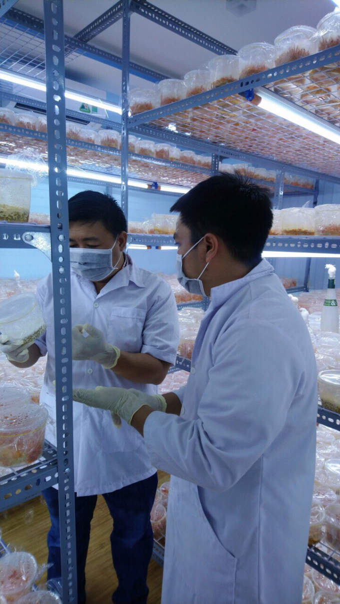 Đông trùng hạ thảo được nuôi cấy trong môi trường nhân tạo.