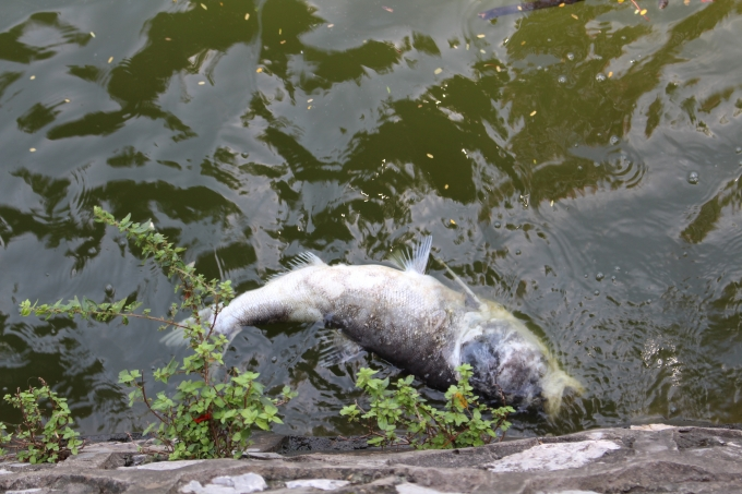 Nhiều con cá to cũng lăn ra chết và đang bốc mùi hôi thối.