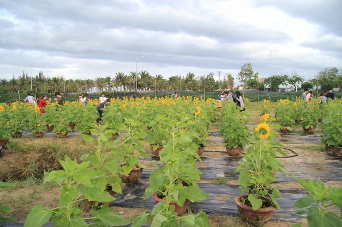 Vườn hoa của ông Hà Văn Vũ nằm ngay góc đường ngã ba Võ Nguyên Giáp - Minh Mạng, bên tuyến đường biển nối liền Đà Nẵng - Hội An.