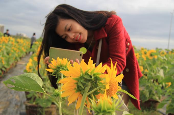 Vườn hoa được ông Vũ sắp đặt với 2 loài hoa chủ yếu là hoa Hướng Dương và hoa Mãn Đình Hồng.