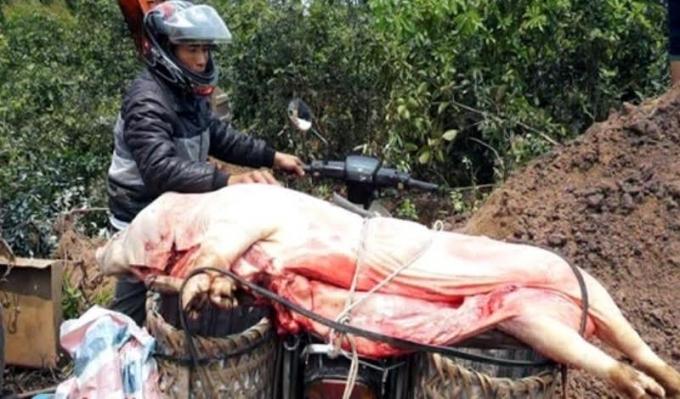 Con lợn bị dịch Tụ huyết trùng chuẩn bị đưa đi tiêu thụ thì bị cơ quan chức năng phát hiện.