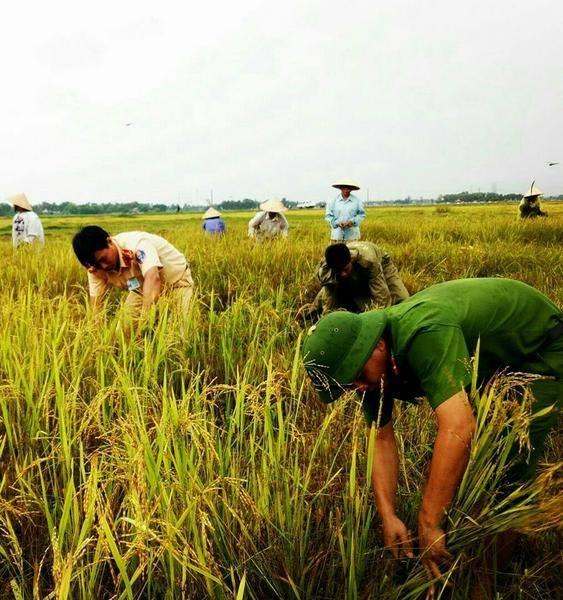 Công an huyện Thạch Hà (Hà Tĩnh) chủ động ra quân giúp dân thu hoạch lúa trước khi bão về.