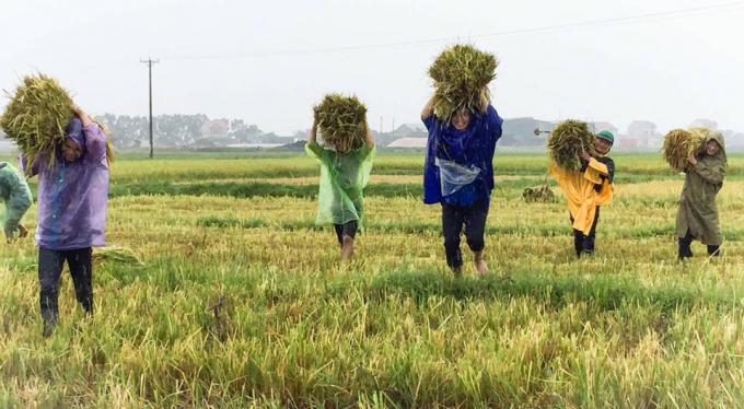 Cán bộ đoàn thành phố Hà Tĩnh cũng ra quân giúp dân thu hoạch vụ mùa trước bão.