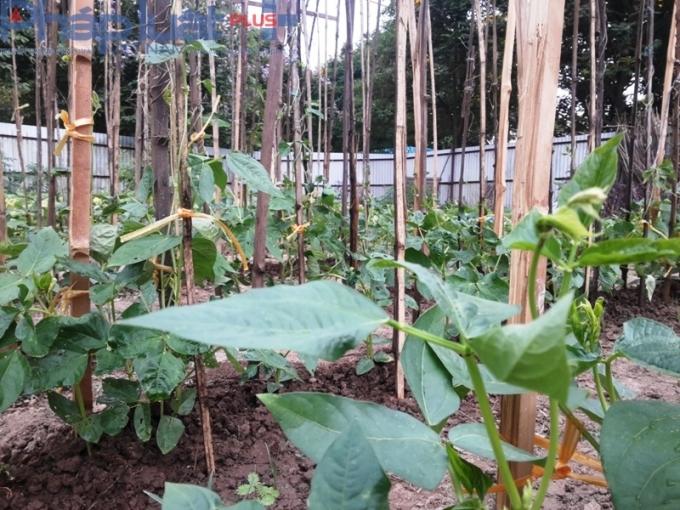 Bác Hùng, một người trồng rau chia sẻ: