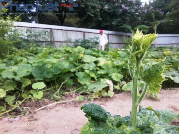 Nhiều chủ vườn cam kết các loại rau được trồng đều là rau sạch và không bón, tưới bất kỳ loại hóa chất nào. Cho nên rau ở đây nhiều loại rất còi, và thường có sâu.