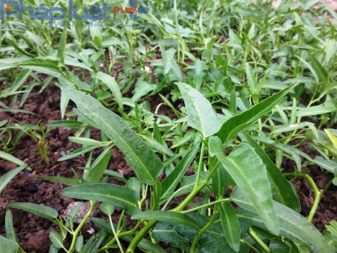 Rau muống cạn sinh trưởng rất tốt. Giá mỗi bó rau muống lên tới 10 nghìn đồng.