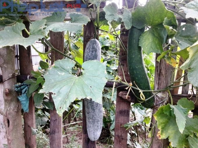 Bí xanh cũng được trồng thành giàn. Một người dân chia sẻ: