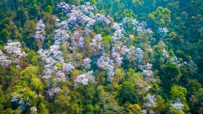 Mùa hoa ban trên Điện Biên nở rộ khiến lượng du khách đổ về đây không ngừng.