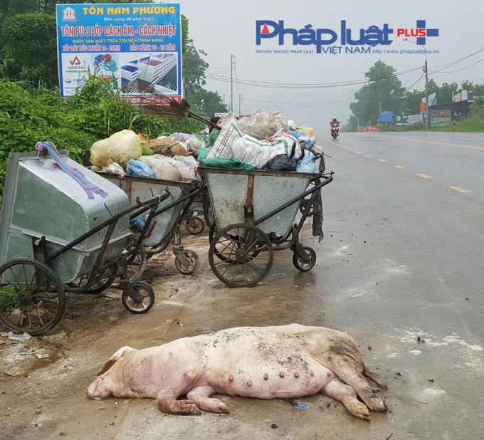 Xác lợn nặng hàng tạ cũng được quăng ngay trên nền đường nhựa.(Ảnh: Tiến Vũ)