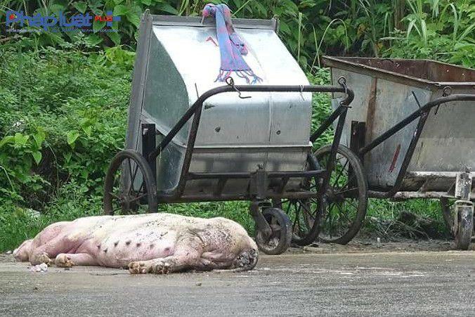 Rác được di chuyển còn lợn chết thì nằm lại tới gần trưa (Ảnh: Tiến Vũ)