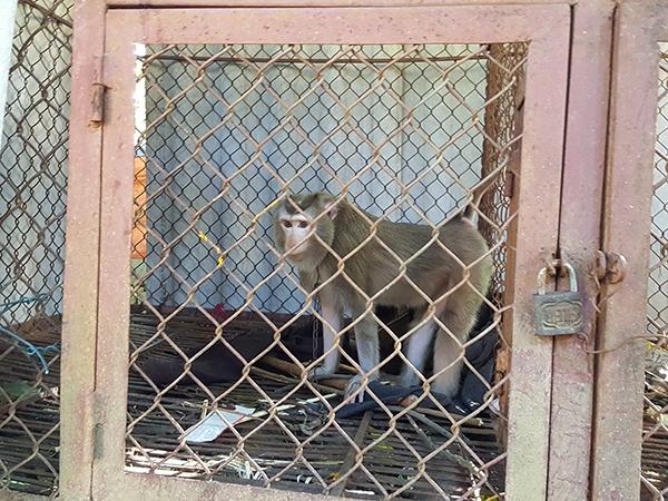 Cảm xúc buồn bã của một chú khỉ bị nuôi nhốt trong lồng sắt, cách li tự nhiên.